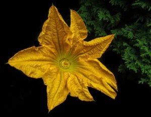 blossom 3180294 1280 min 300x233 - I 5 Fiori commestibili